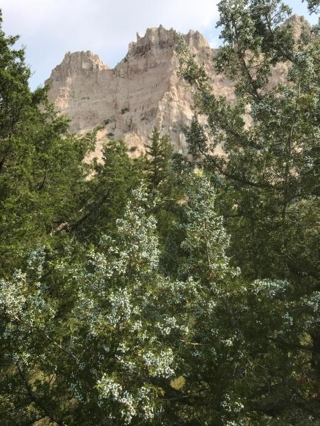 Cedar tree berries