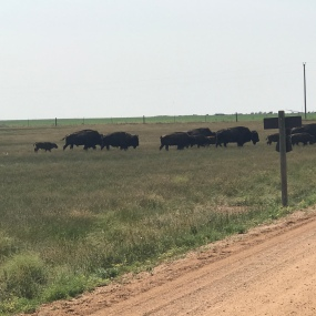 including baby bison